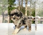 Small #7 Sheepadoodle