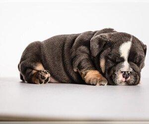 Bulldog Puppy for sale in NORTHFIELD, IL, USA