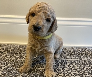 Goldendoodle Puppy for sale in SPARTA, MI, USA