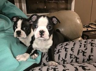 Boston Terrier Puppy for sale in CHARLOTTESVILLE, VA, USA