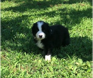Australian Shepherd Puppy for Sale in LEXINGTON, North Carolina USA
