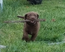 Chesapeake Bay Retriever Puppy For Sale in MOUNT OLIVET, KY, USA