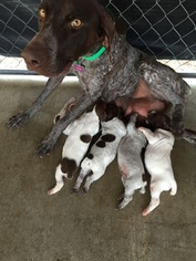 German Shorthaired Pointer Puppy For Sale in STRATHMORE, CA, USA