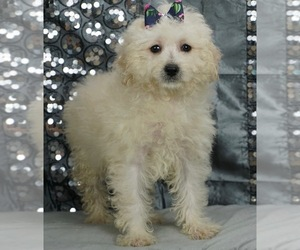 Maltese-Poodle (Toy) Mix Puppy for Sale in WARSAW, Indiana USA