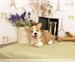 Pembroke Welsh Corgi Puppy for sale in LOS ANGELES, CA, USA