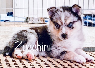 Pomsky Puppy For Sale in CENTERVILLE, OH, USA