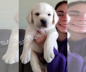 Labrador Retriever Puppy for sale in PINON HILLS, CA, USA