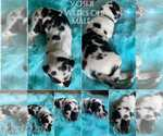 Puppy 11 Great Dane