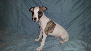 Whippet Puppy For Sale in AUSTIN, TX, USA