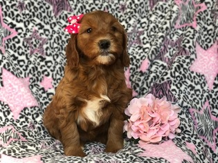Goldendoodle-Poodle (Miniature) Mix Puppy for sale in EAST EARL, PA, USA
