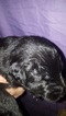 Belgian Sheepdog Puppy For Sale in HARRISBURG, IL, USA