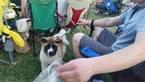 Akita Puppy For Sale in CUBA, MO, USA