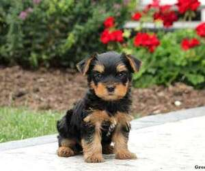 Yorkshire Terrier Dog for Adoption in LEOLA, Pennsylvania USA