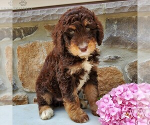 Bernedoodle-Poodle (Standard) Mix Puppy for sale in NEW HOLLAND, PA, USA