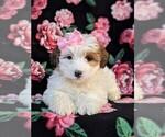 Small #4 Poodle (Miniature)-Shorkie Tzu Mix
