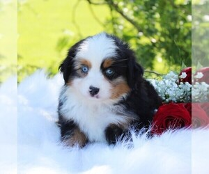 Australian Shepherd Puppy for sale in DUNDEE, NY, USA