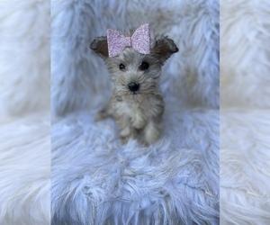 Schnauzer (Miniature) Puppy for sale in BEECH GROVE, IN, USA