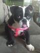 Female AKC Registered English Bulldog