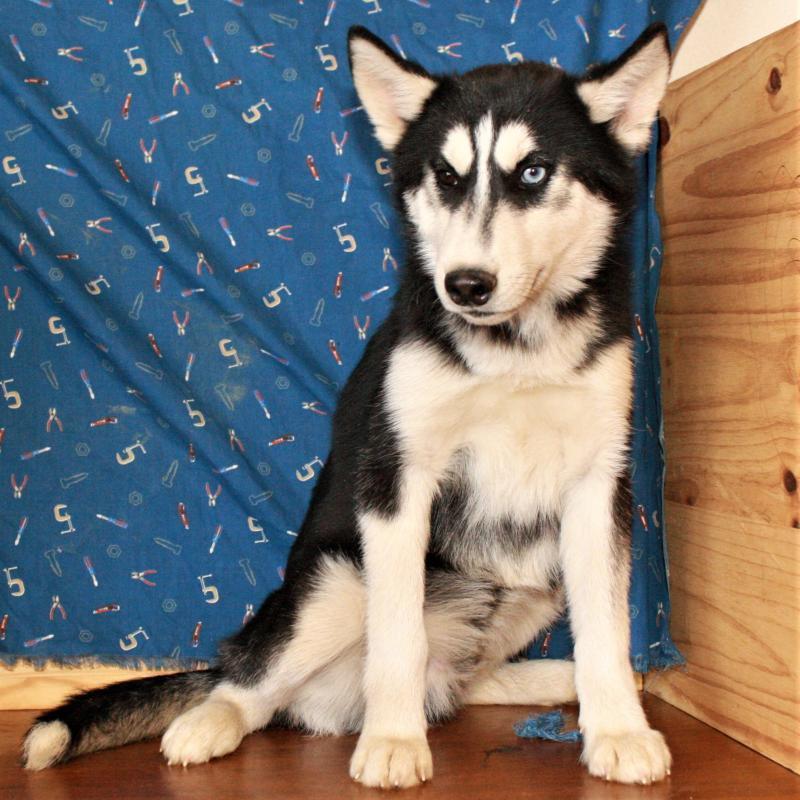 View Ad: Siberian Husky Puppy for Sale, Oklahoma, SHAWNEE, USA