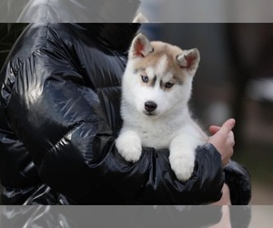 Siberian Husky Puppy for sale in AUSTIN, TX, USA