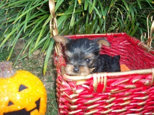 Yorkshire Terrier Puppy for sale in HENDERSONVILLE, NC, USA