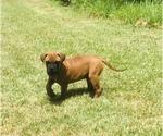 Small #5 Bullmastiff