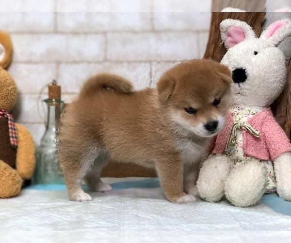 Medium Photo #7 Shiba Inu Puppy For Sale in LOS ANGELES, CA, USA
