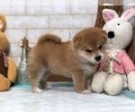 Small Photo #7 Shiba Inu Puppy For Sale in LOS ANGELES, CA, USA