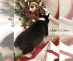 Small #1 Siberian Husky