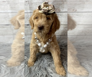 Goldendoodle-Poodle (Standard) Mix Puppy for sale in FREDERICKTOWN, MO, USA