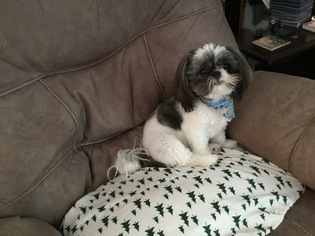 View Ad Shih Tzu Puppy For Sale North Carolina Winston Salem Usa