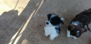 Havanese Dog For Adoption in FORT SMITH, AR, USA