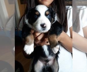 Australian Shepherd Puppy for Sale in W ALEX, Ohio USA