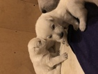 White German Sheppard puppies for sale