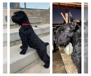 Schnauzer (Giant) Dog for Adoption in SAN BERNARDINO, California USA