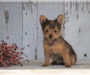 Yoranian Puppy for sale in FREDERICKSBG, OH, USA