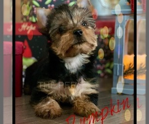 Yorkshire Terrier Dog for Adoption in CULPEPER, Virginia USA