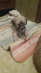 Labrador Retriever-Shih Tzu Mix Dogs for adoption in URIAH, AL, USA