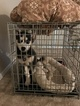 Siberian Husky Puppy For Sale in SMYRNA, GA, USA