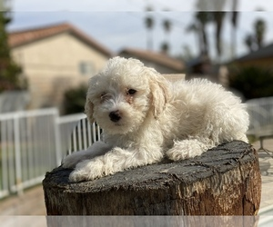 Poodle (Miniature) Puppy for sale in JURUPA VALLEY, CA, USA