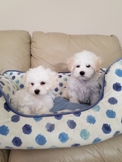 Bichon Frise Puppy For Sale in SNOHOMISH, WA, USA