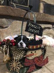 Faux Frenchbo Bulldog Puppy For Sale in ALTOONA, KS, USA