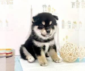 Shiba Inu Puppy for sale in CHINO HILLS, CA, USA
