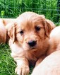 Golden Retriever Puppy For Sale in MINNEAPOLIS, Minnesota,