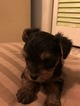 Yorkshire Terrier Puppy For Sale in CENTERTOWN, TN, USA