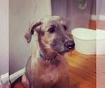 Small #9 Irish Wolfhound