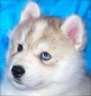 Siberian Husky Puppy For Sale in TULSA, OK, USA