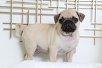 Pug Puppy For Sale in BEL AIR, MD,