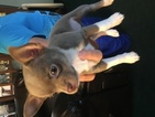 Chihuahua Puppy For Sale in WILLIAMSBURG, OH, USA