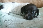 Dachshund Puppy For Sale in BEN WHEELER, TX,